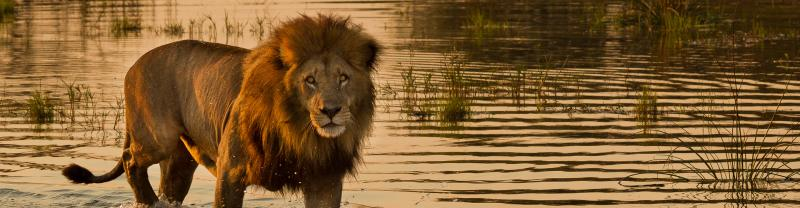 Lion in water on Safari in South Africa with Peregrine