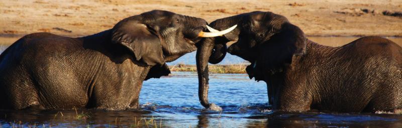 Elephants, Chobe National Park