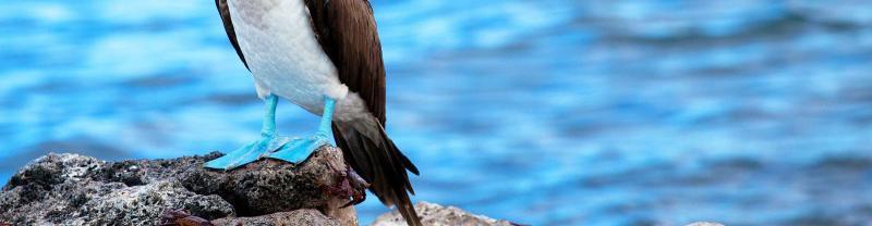 Blue footed boobie, Galapagos