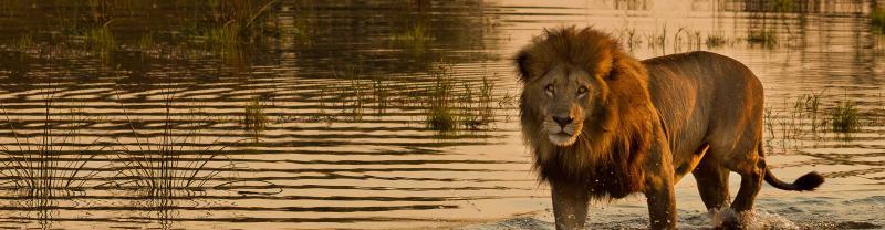 South Africa Lion Walking Water