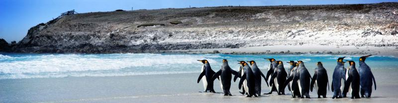 Penquins on a Falklands Islands beach