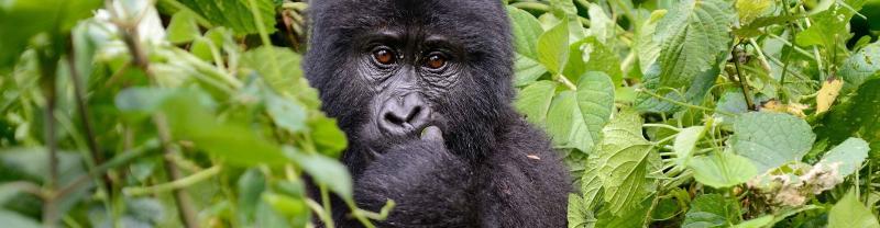 Rwanda young gorilla jungle