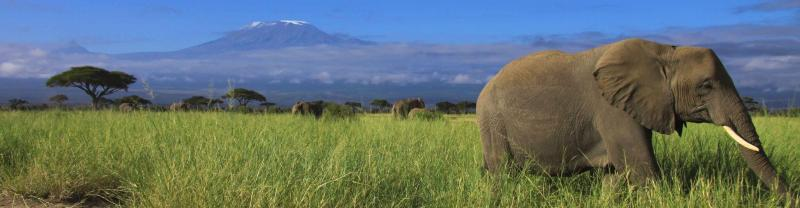 Elephants roaming near Mount Kilimanjaro in Tanzania