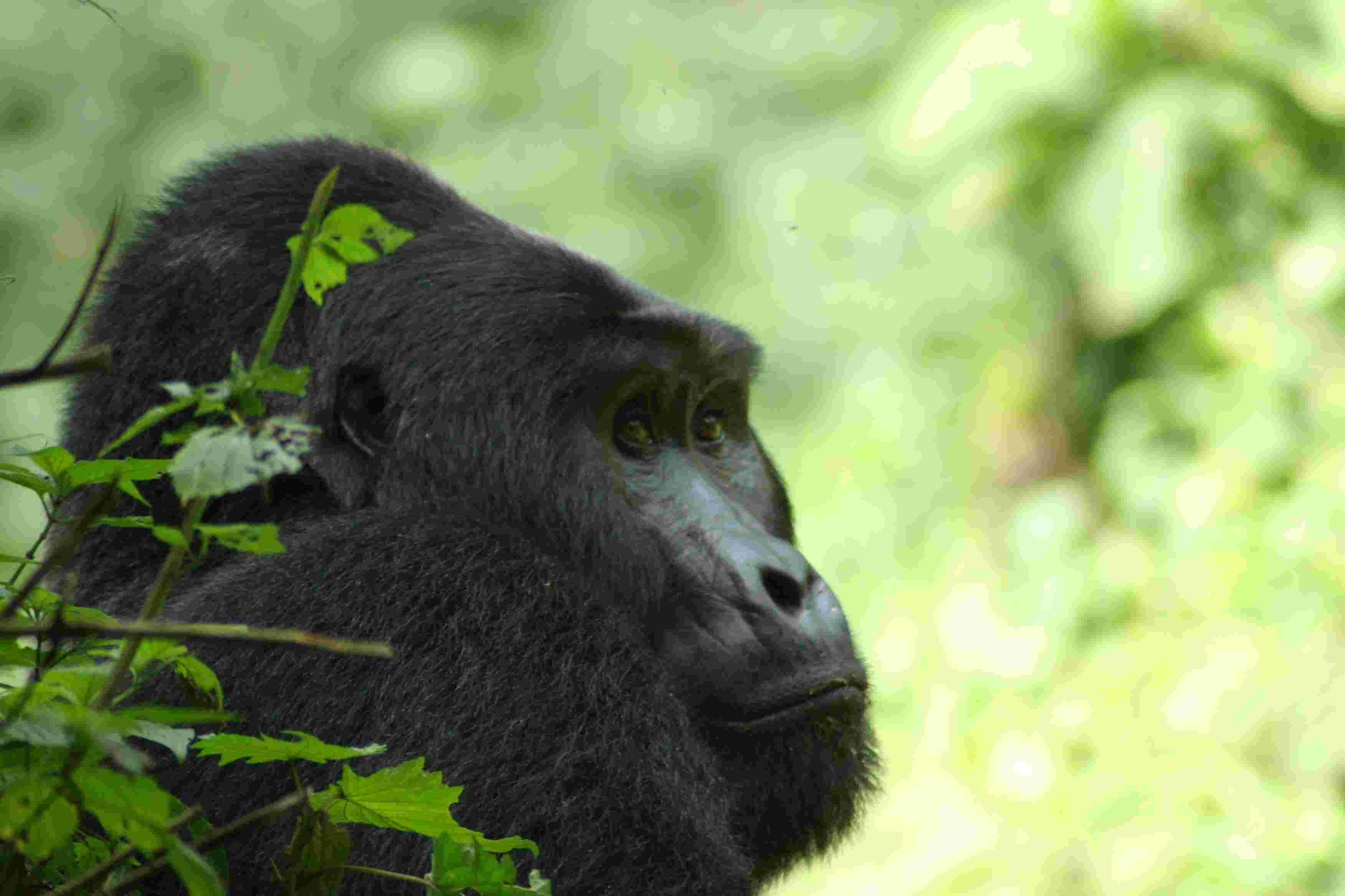 an overview of the mountain gorillas The paperback of the woman in the mists: the story of dian fossey and the mountain gorillas of africa by farley mowat at barnes & noble overview woman in the.