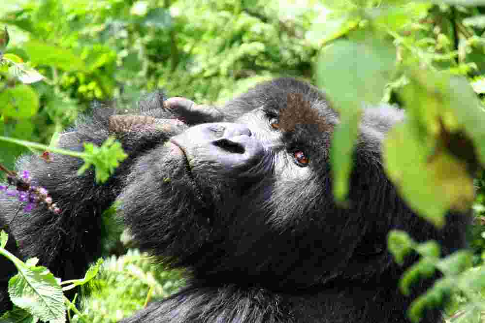 an overview of the mountain gorillas Mountain gorilla an endangered species  mountain gorillas live in islands of mountaintop habitat in a sea of human settlement  shark trade overview.